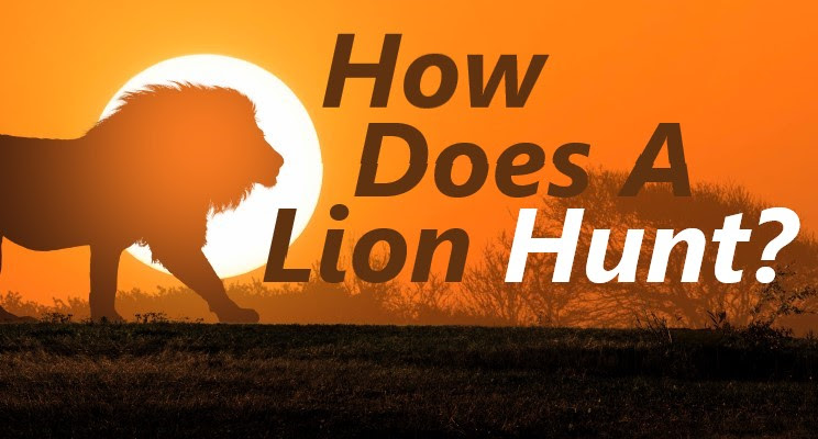 How Does a Lion Hunt